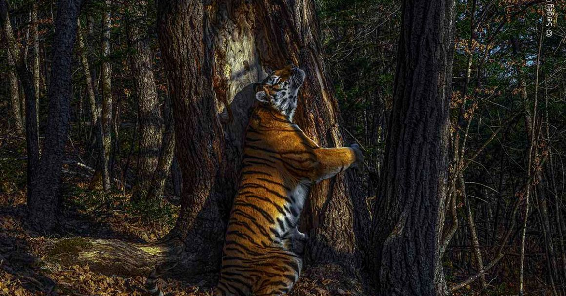 Hidden camera's tree-hugging tiger wins Wildlife Photographer of the Year 2020