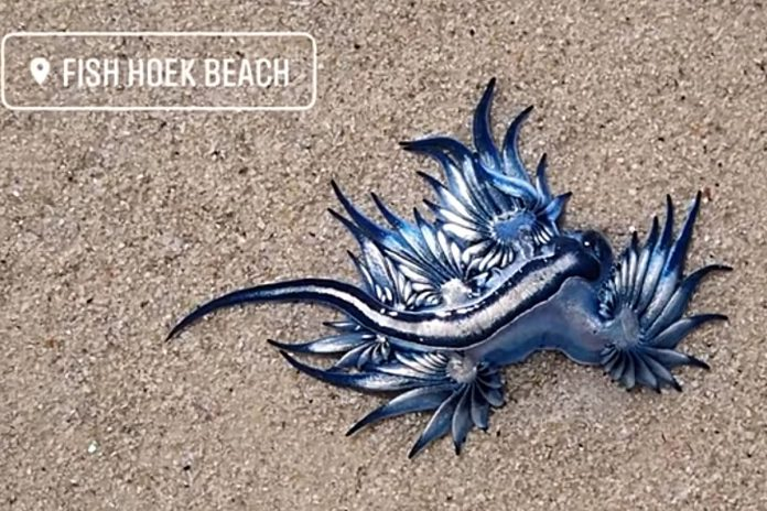 Bizarre dragon-like blue sea creatures wash up in South Africa