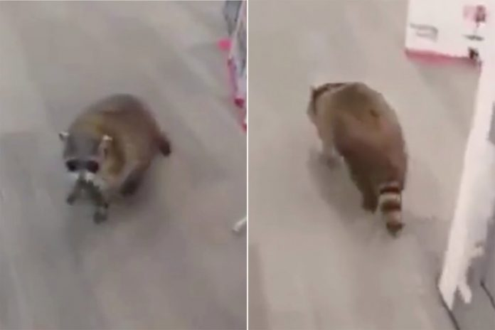 Watch this raccoon 'go shopping' at Best Buy in Toronto